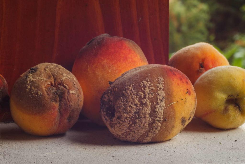 Pfirsiche mit Monilia-Pilz befallen