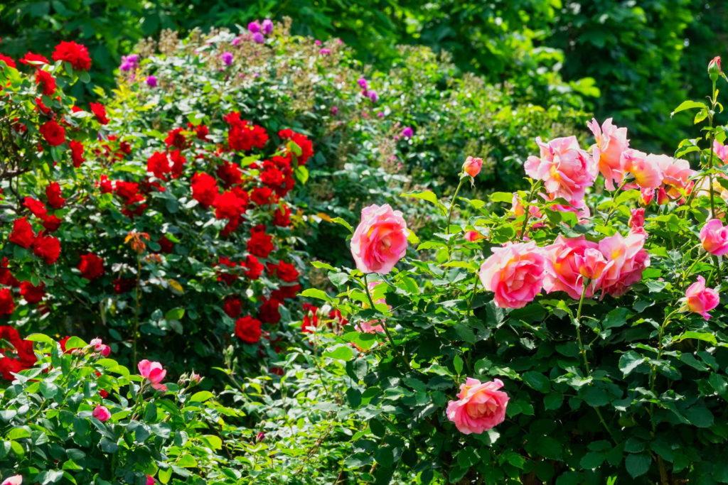 Rosen am Busch rot und rosa