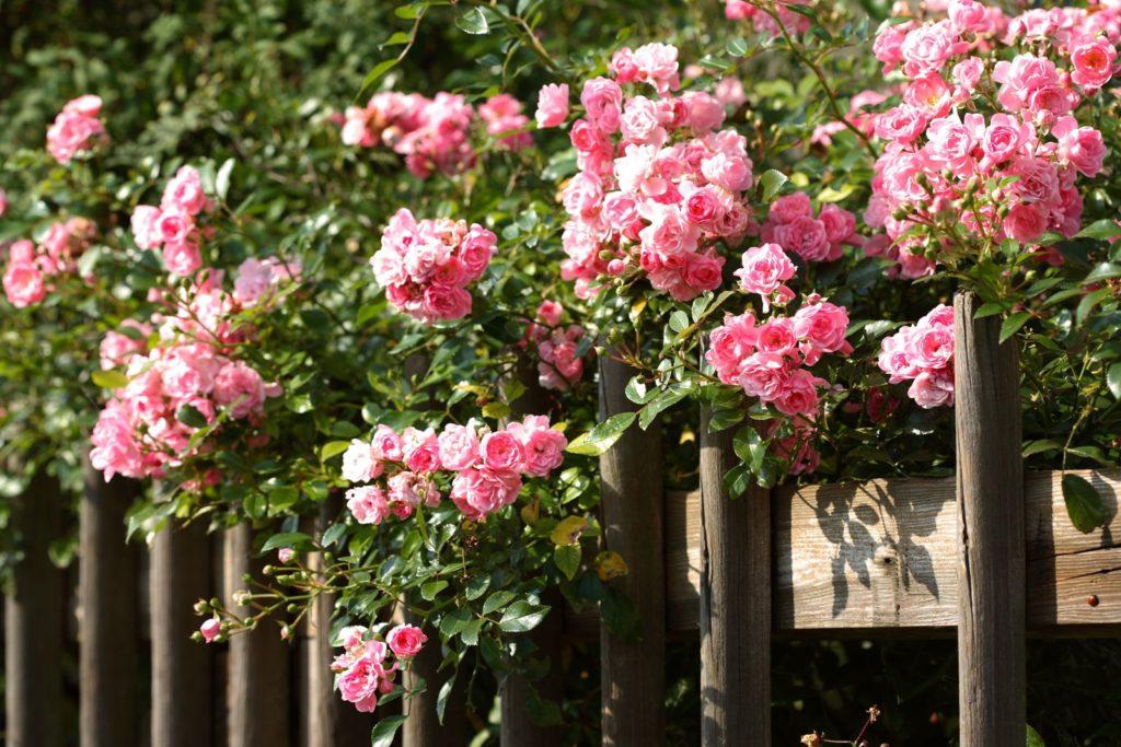 Rosa Rosen an einem Holzzaun