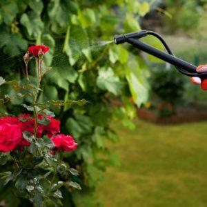 Rote Rose Besprüht