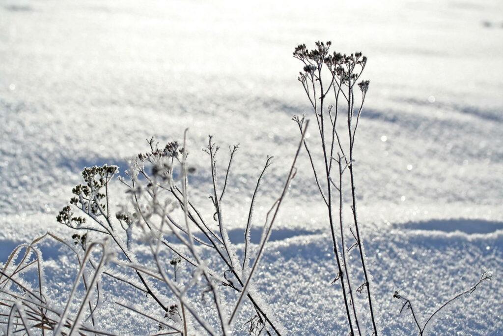 Schafgarbe auf einem Feld voller Schnee