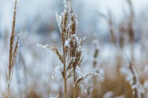 Schilf Mit Schnee