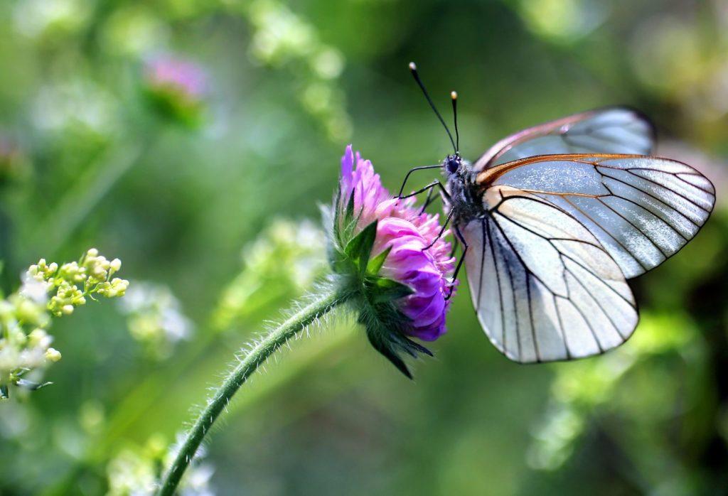 Ein Schmetterling sitzt auf der Blüte des Klees