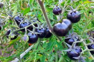 Schwarze Tomaten Hängen Am Baum