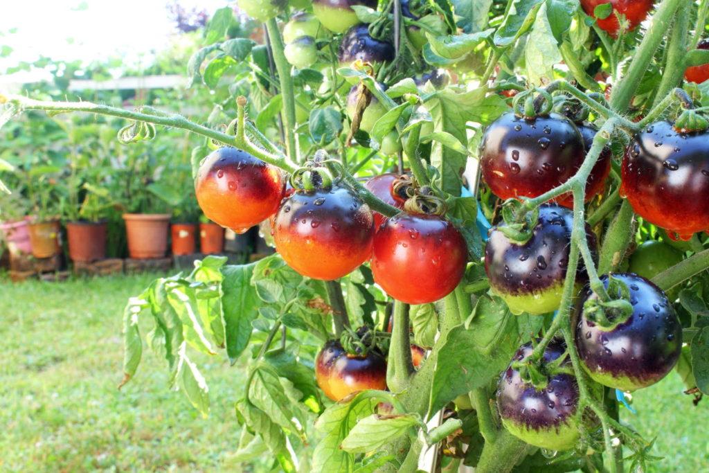 Schwarze Tomaten im Garten