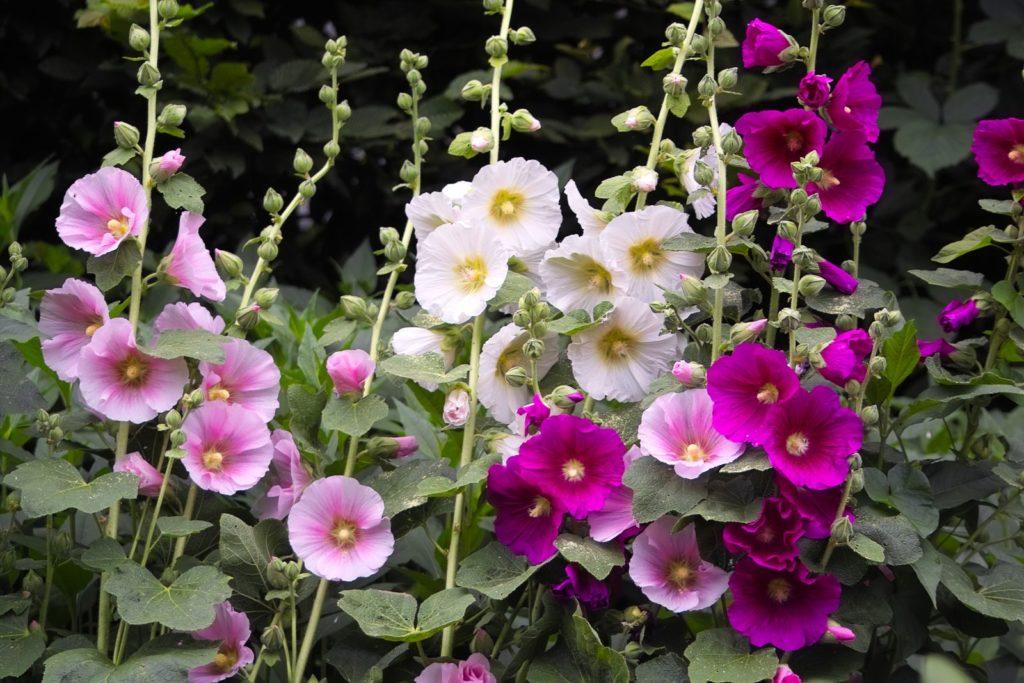 Bunte Stockrosen im Garten