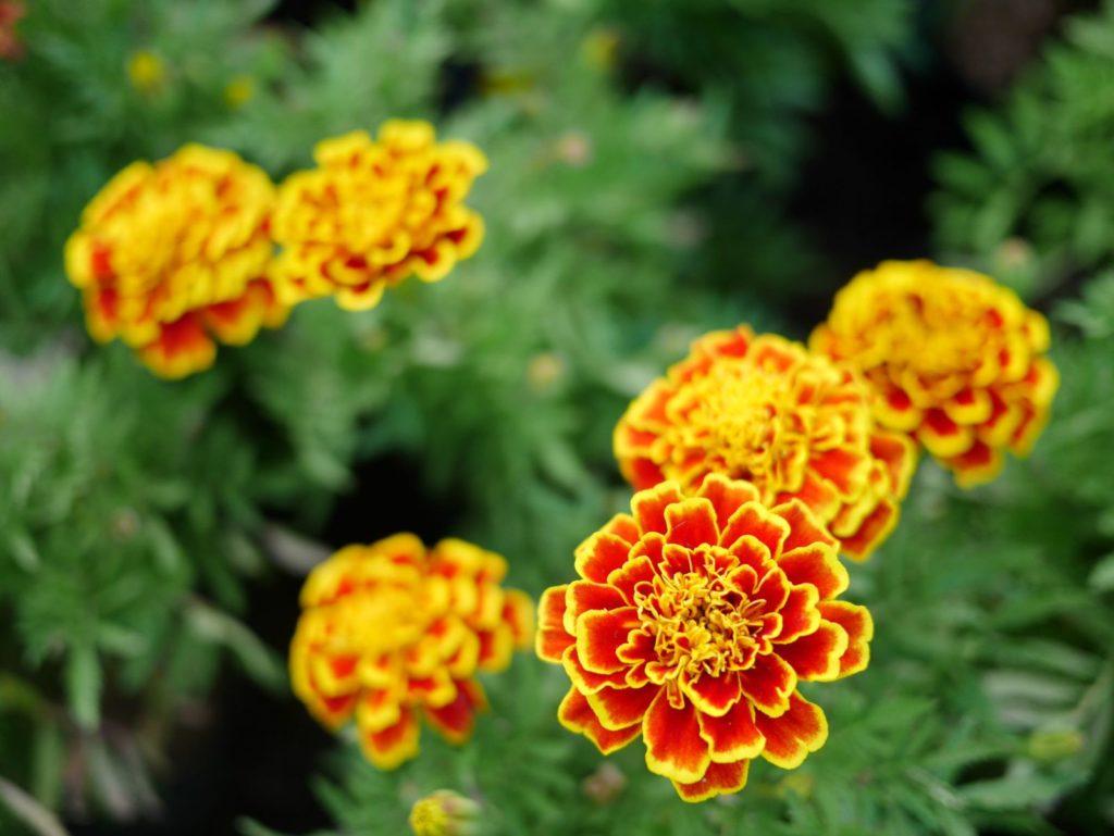 gelbe Studentenblume im Garten