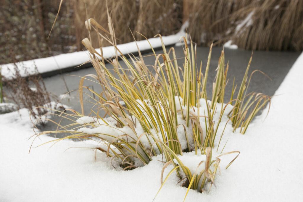 Pflanzen am Teich im Winter
