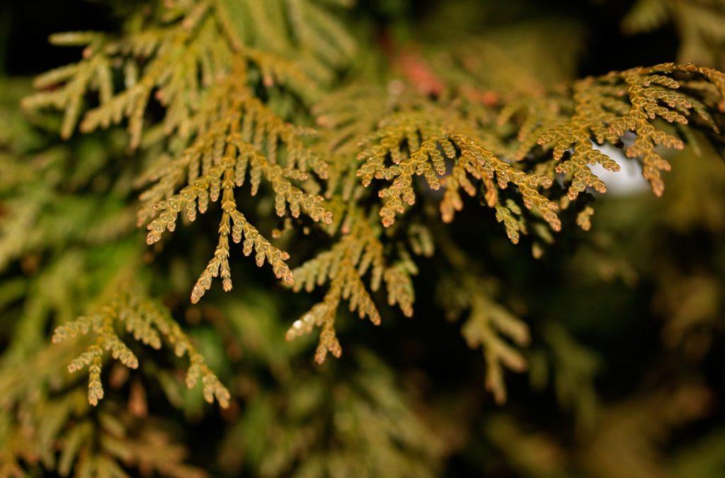 Thuja braune Blätter