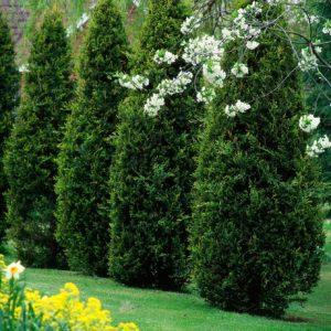 Thuja Im Garten
