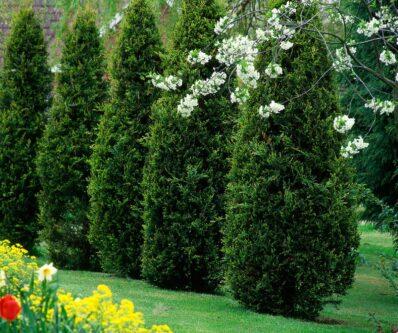 Thuja düngen: Pflege-Tipps für den Lebensbaum