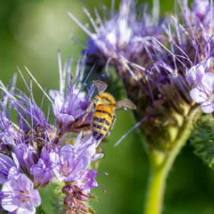 Biene In Lila Blume