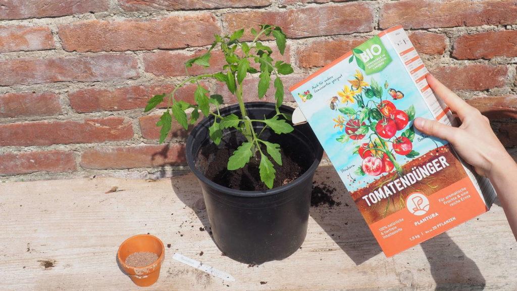 Tomatenpflanze wird draußen gedüngt