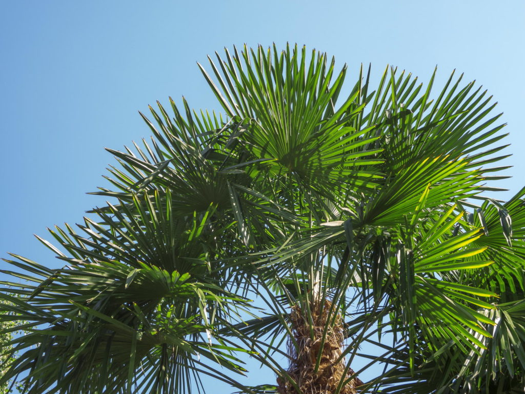 Trachycarpus fortunei vor blauem Himmel