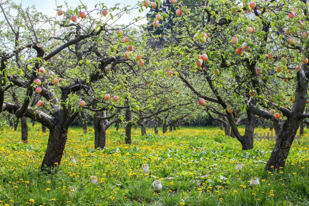 Pfirsichbäume auf einer Wiese