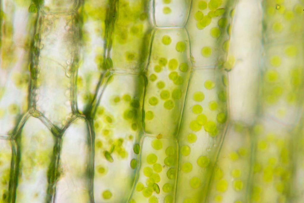 Zellstruktur des Rasens