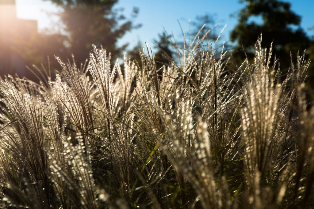 Ziergras trocken in der Sonne