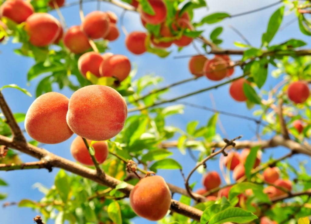 Pfirsichbaum von unten nach oben fotografiert mit orangenen und roten Pfirsichen