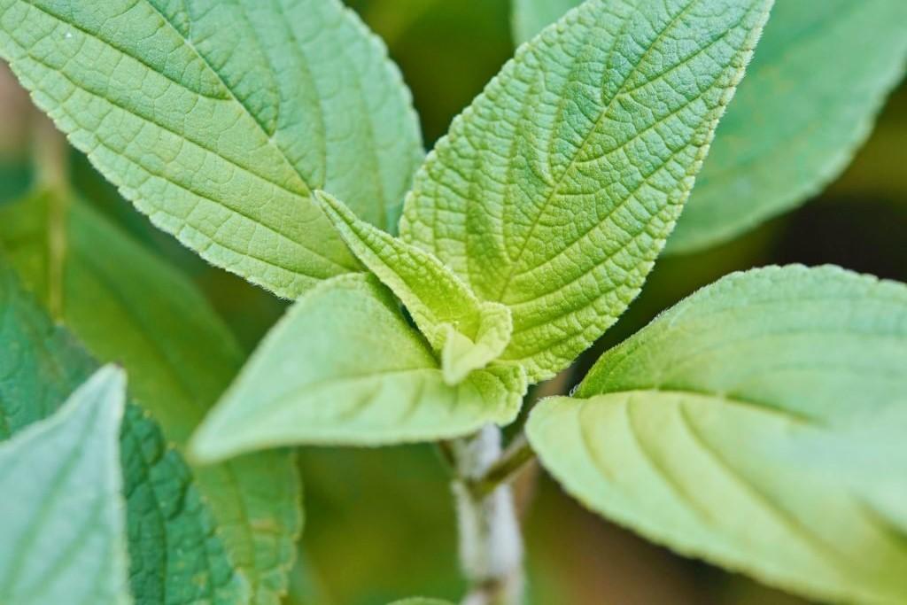 Ananassalbei-Blätter