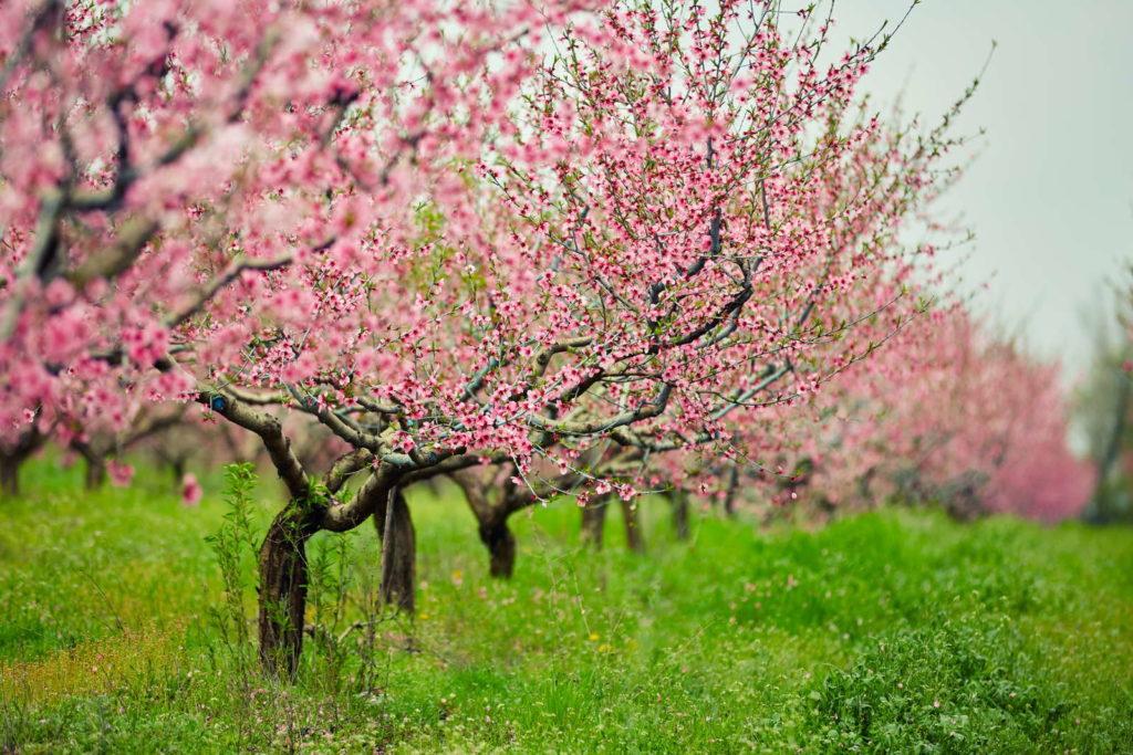 blühende Pfirischbäume auf einer grünen Wiese
