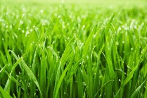 Grashalme Und Rasen