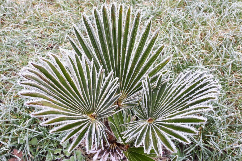 Hanfpalme im Winter