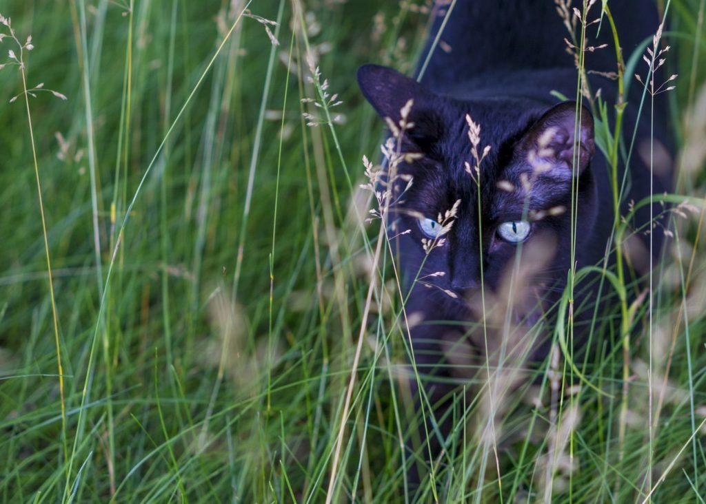 Katze schleicht im hohen Gras