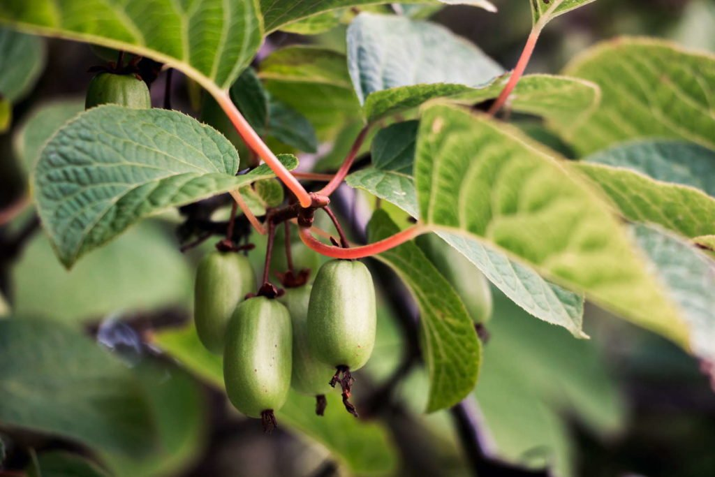Kiwibeeren-Pflanze mit grüner Frucht