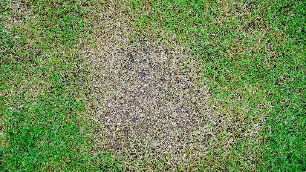 Krankes Gras mit Stickstoffmangel