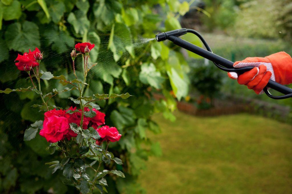 Rosen werden mit mineralischem Dünger besprüht