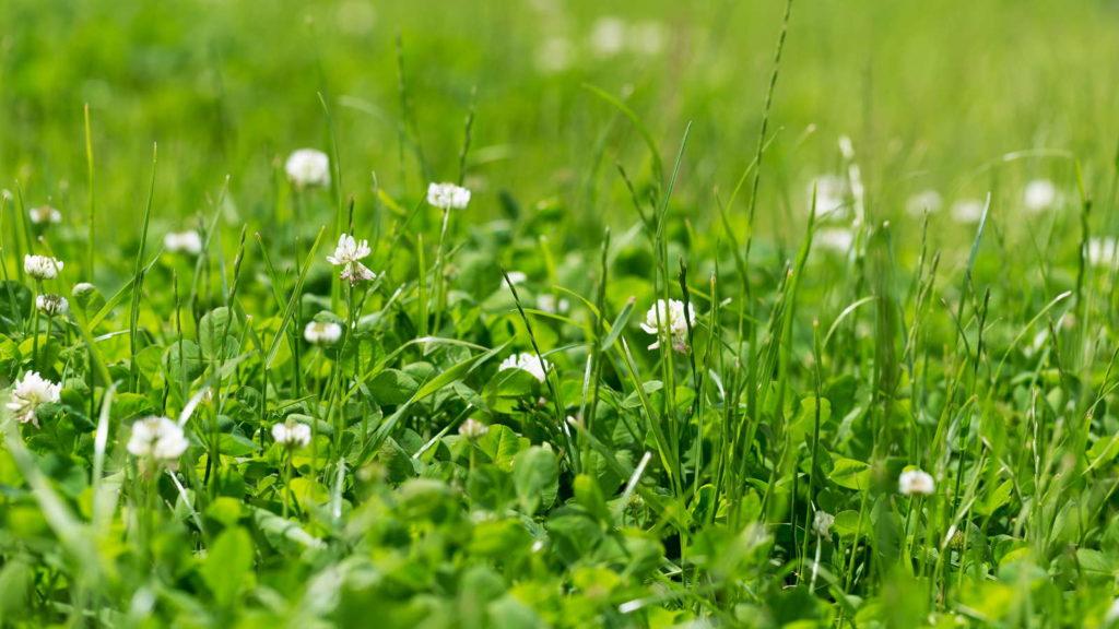 weißer Klee im Rasen