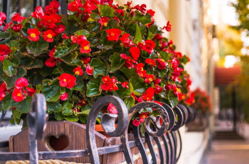 Begonien mit roten Blüten auf einem Balkon in einem Topf