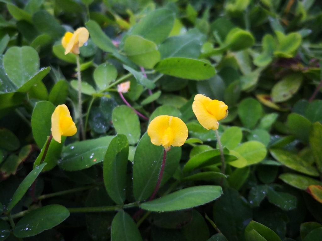 Erdnusspflanzen mit Blüten