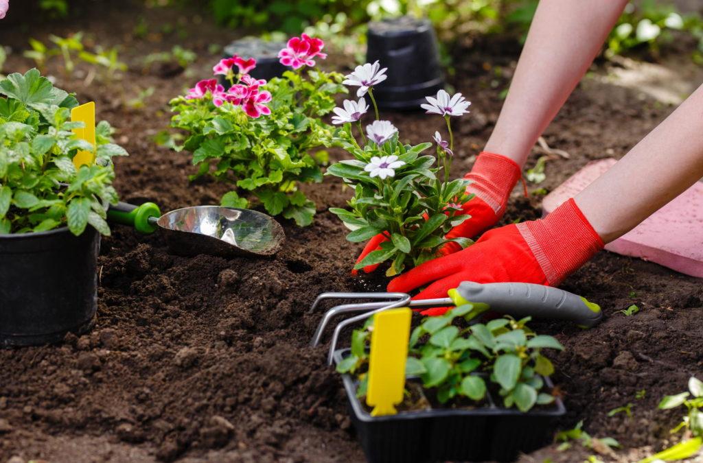 Blumen werden in Beet eingepflanzt