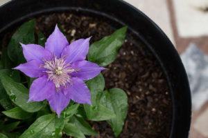 Clematis Blüte Einzeln Lila Im Topf