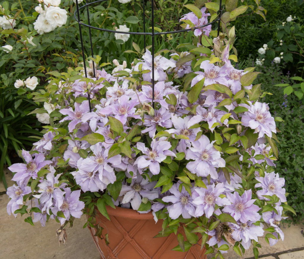 Clematis groß im Topf