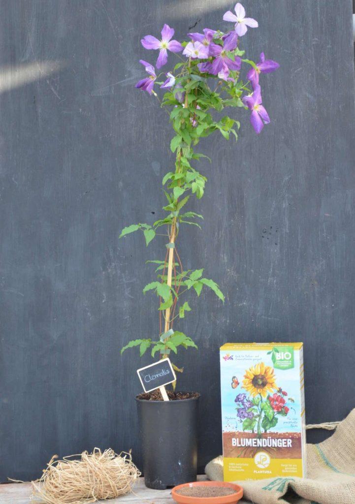 Plantura Bio-Blumendünger neben Clematis im Topf