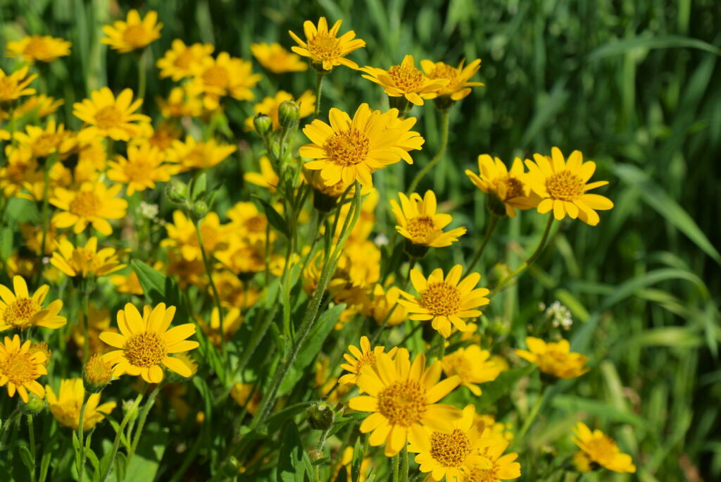 Echte Artika mit gelben Blüten