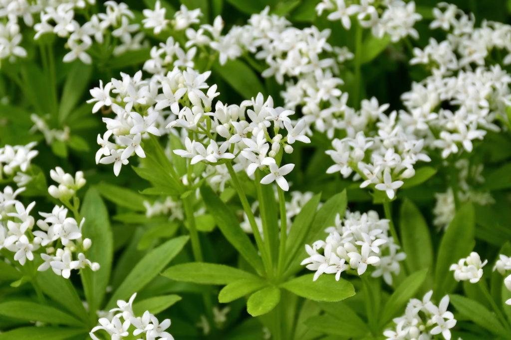 Echter Waldmeister mit weißen Blüten