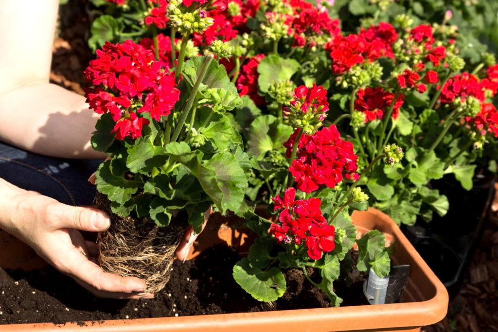 Einpflanzen von roten Geranien in einen Topf im Garten