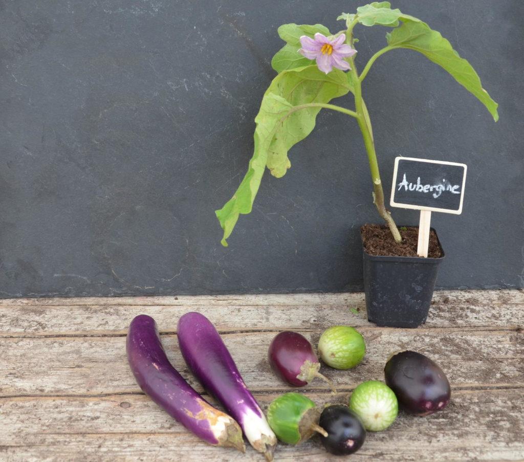 Kreidetafel in einer Aubergine-Pflanze