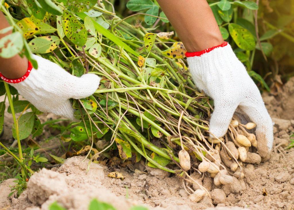 Ernte einer Erdnusspflanze