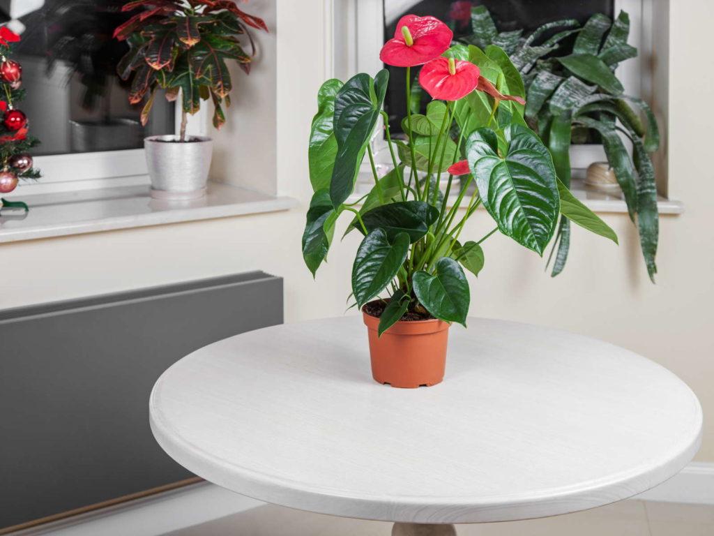 Flamingoblume in einem Topf auf einem weißen Tisch
