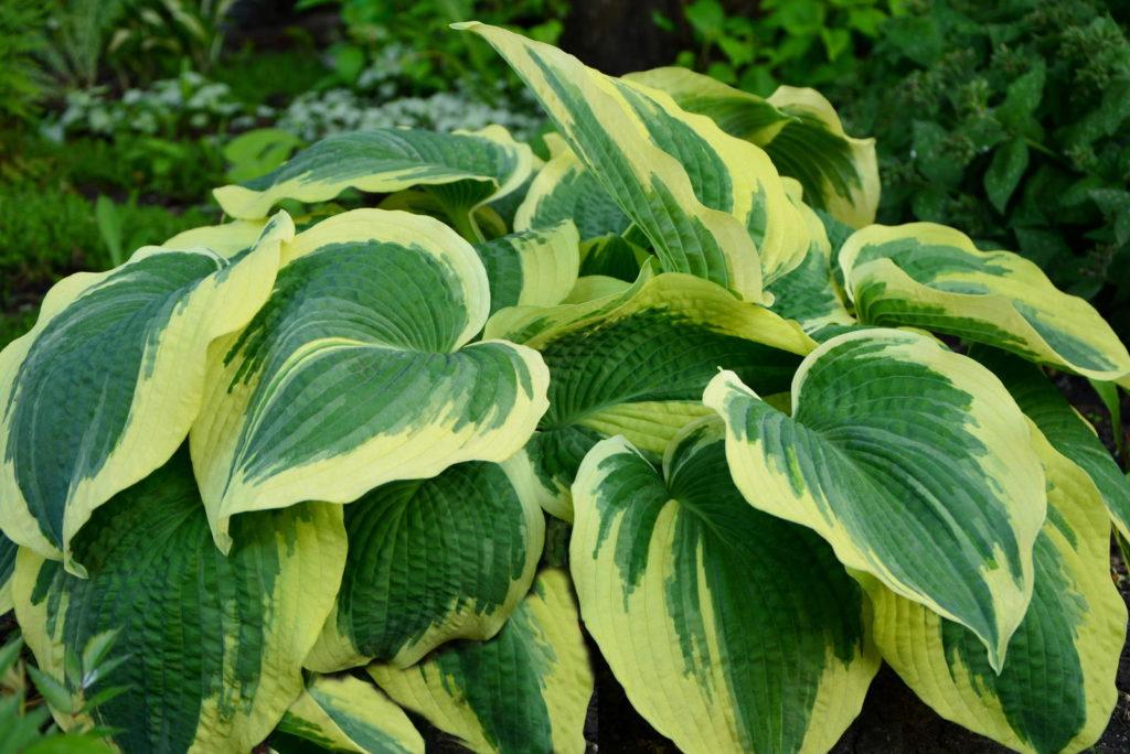 Funkie mit zweifarbigen Blättern