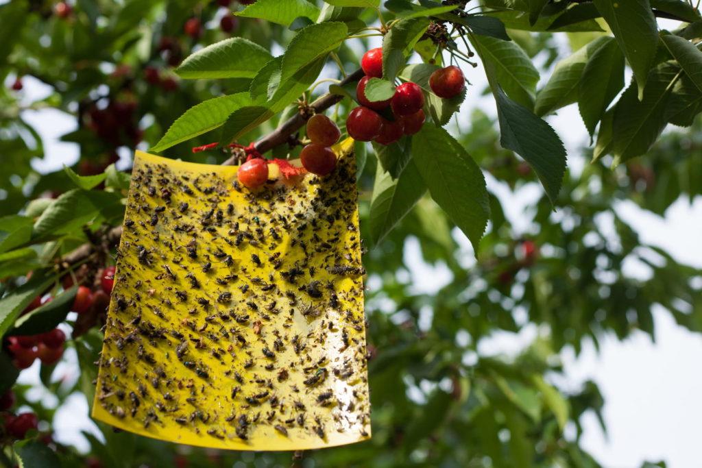 Kirschbaum mit Gelbtafel
