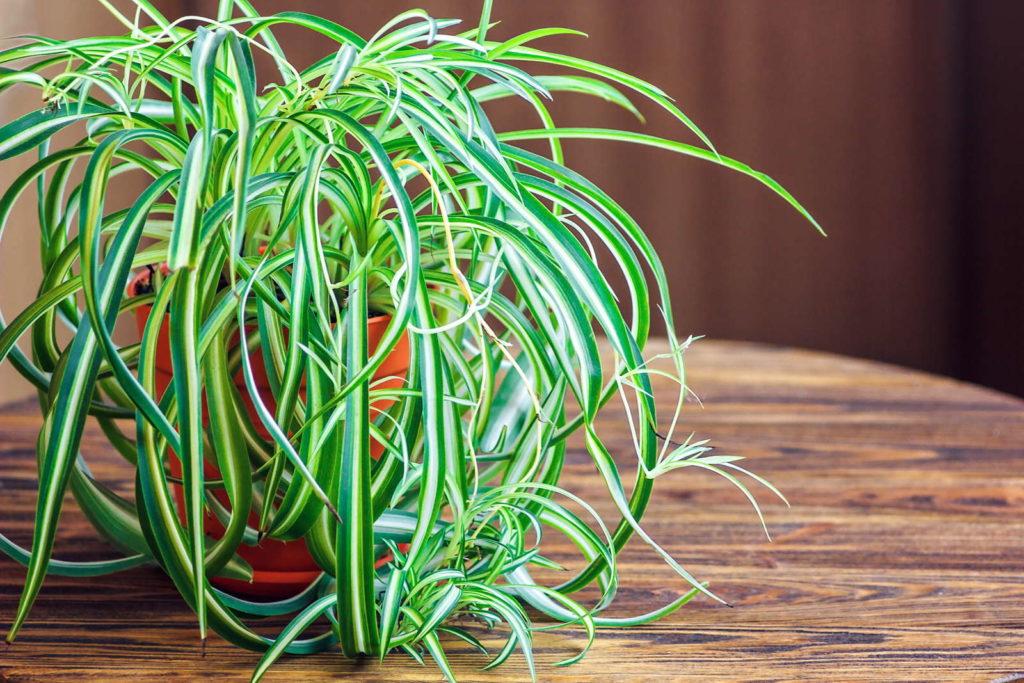 Eine Grünlilie im Topf
