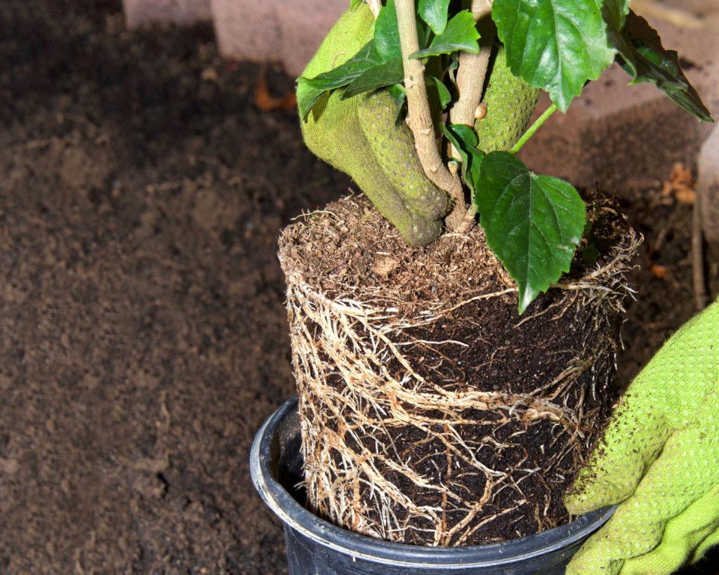 Hibiskuspflanze wird umgetopft