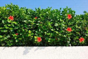 Hibiskus-Hecke Im Garten
