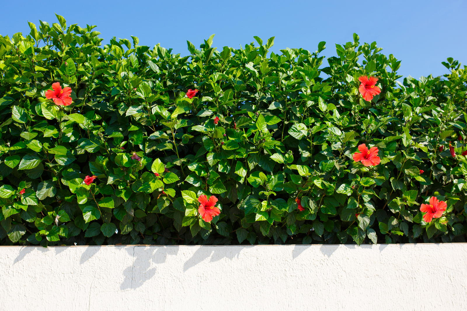 Hibiskus Hecke Tipps Zu Sortenwahl Pflanzung Pflege Plantura