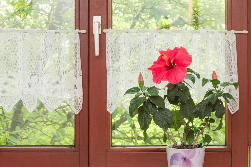 Hibiskus im Blumentopf am Fenster